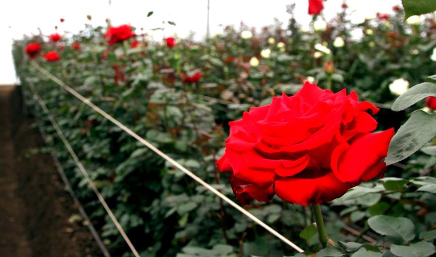 Pedro Moncayo.- Alrededor de 100mil rosas serán utilizadas para los arreglos florales de la visita Papa. | Foto: Alex Godoy R / ImbaburaHoy