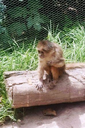 mono rescatado